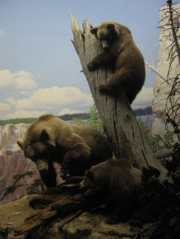 Stuffed bears in the AMNH