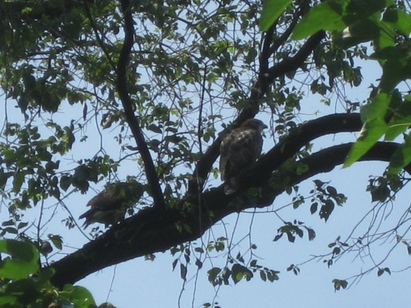 5th avenue raptors - red tailed hawks?