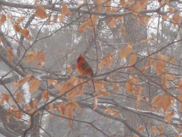 Central Park snow red cardinal