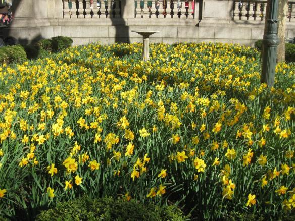 Bryant Park daffodils