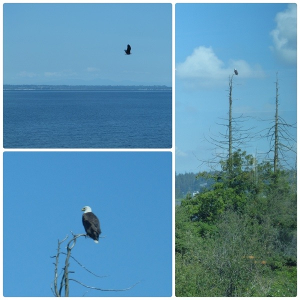Eagles by Puget Sound